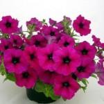 Petunia Nuvolari Purple