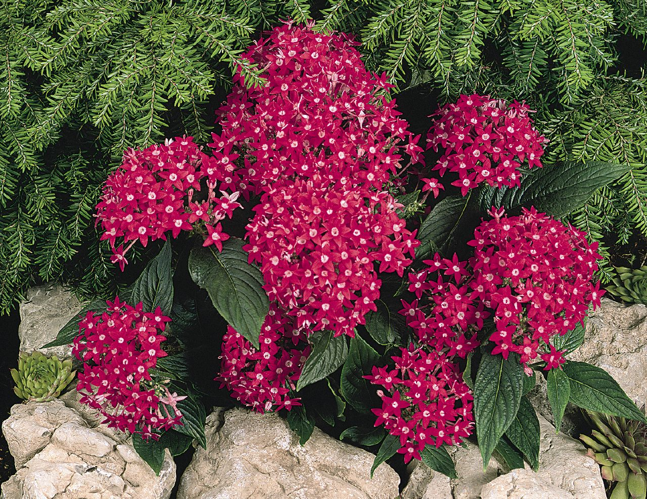 pentas graffiti bright red