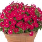 Petunia Gioconda Deep Rose