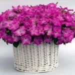 Petunia Gioconda Pastel Pink