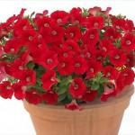 Petunia Gioconda Scarlet