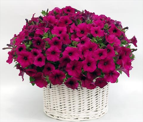 Petunia Gioconda Violet