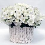 Petunia Gioconda White