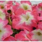 Petunia Limbo Pink Morn