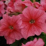 Petunia Limbo Red Veined