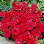 Petunia Nuvolari Red