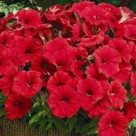 Petunia Picobella Red