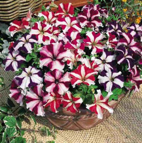 Petunia Ultra Star Mix