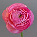 ranuncolo amandine pink