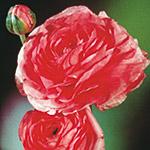 ranuncolo friandine pink