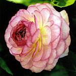 ranuncolo friandine rose picotee