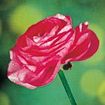 ranuncolo friandine rose