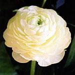 ranuncolo friandine white