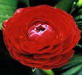 ranuncolo pauline scarlet
