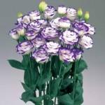 lisianthus rosita blue picotee