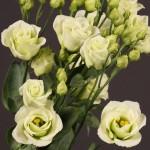 lisianthus rosita 3 green