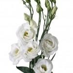 lisianthus rosita 3 pure white