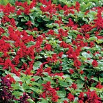 Salvia Scarlet Magic