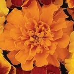 tagete bonanza orange