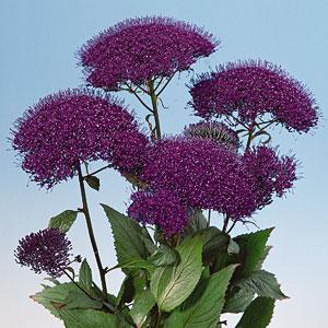 trachelium pandora purple