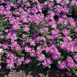 vinca cora deep lavender