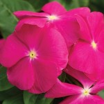 vinca cora pink