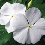 vinca cora white