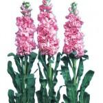 violacciocca iron deep pink