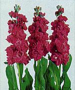 violacciocca josephine violet