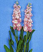 violacciocca juliette pink
