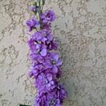 violacciocca prouesse lavender blue