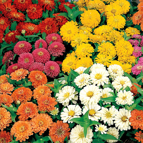 Zinnia Dreamland Mix