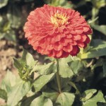 zinnia elegans giant coral