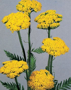 Achillea Filipendulina Yellow