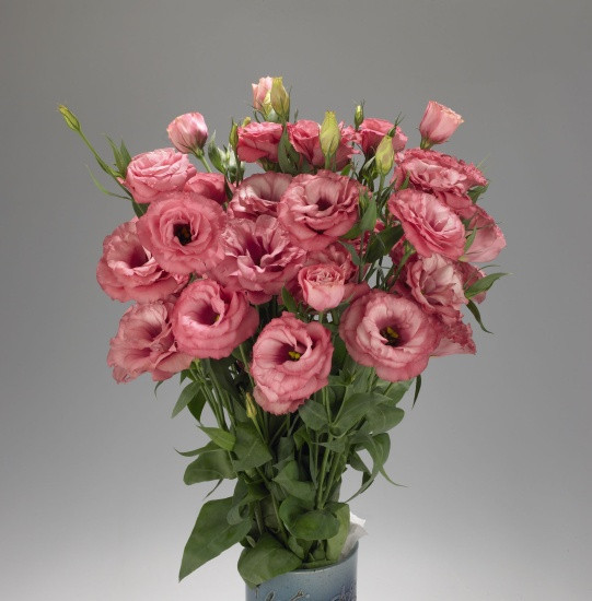 Lisianthus Advantage Cherry Sorbet