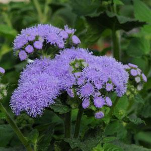 Ageratum Everest Blue