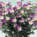 Aster Daylight Blue Frost