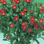Aster Daylight Red