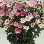 Aster Daylight Rose Frost