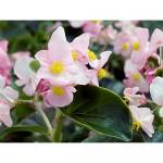 Begonia Inferno Pink