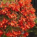 Begonia Inferno Red