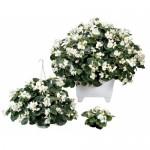 Begonia Inferno White