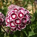Dianthus Gorena Chiaro