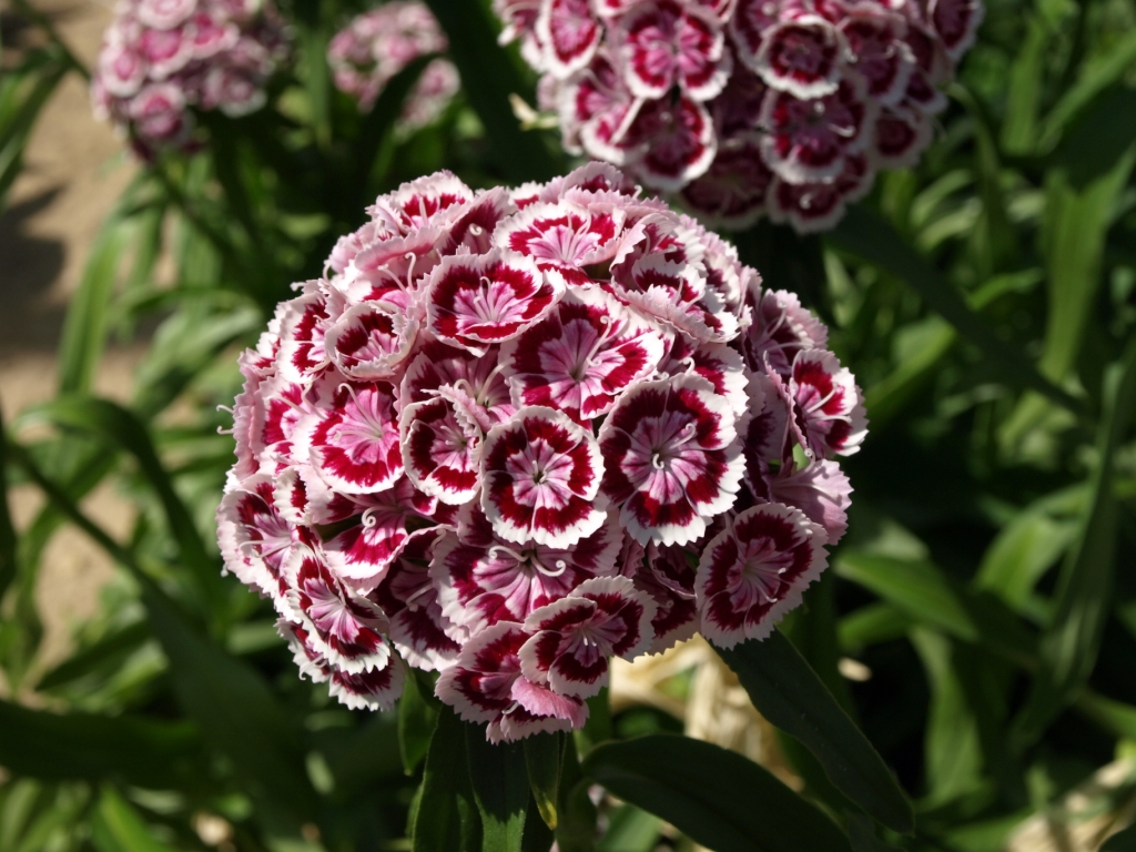 Dianthus Nello Bianco/Rosso