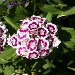 Dianthus Bicolore Viola Antò