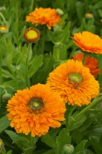 Calendula Dandy Orange Green