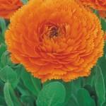 Calendula Star Orange