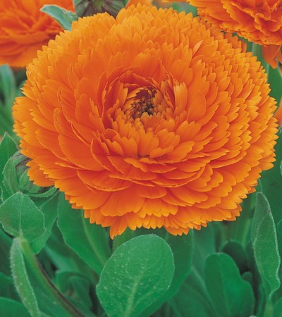 Calendula Star Orange