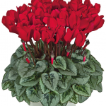 Ciclamino Metis Scarlet Red
