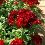 Dianthus Rosso Pinò